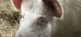 Arges: Al doilea focar de pesta porcina africana in comuna Ungheni